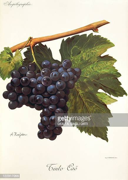 Pierre Viala Victor Vermorel Traite General de Viticulture Ampelographie 19011910 Tome V plate Tinto Cao grape Illustration by A Kreyder