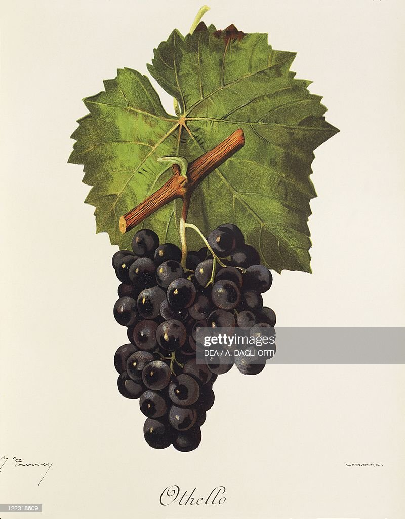 Othello grape, illustration by J. Troncy : Photo d'actualité