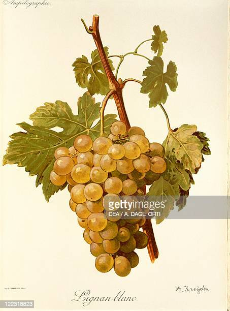 Pierre Viala Victor Vermorel Traite General de Viticulture Ampelographie 19011910 Tome III plate Lignan Blanc grape Illustration by A Kreyder