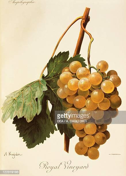 Pierre Viala Victor Vermorel Traite General de Viticulture Ampelographie 19011910 Tome IV plate Royal Vineyard grape Illustration by A Kreyder