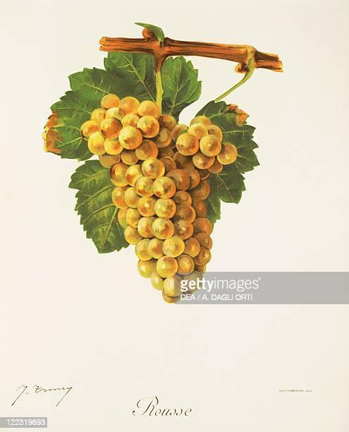 Pierre Viala Victor Vermorel Traite General de Viticulture Ampelographie 19011910 Tome III plate Rousse grape Illustration by J Troncy