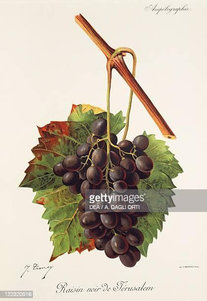 Pierre Viala Victor Vermorel Traite General de Viticulture Ampelographie 19011910 Tome IV plate Raisin Noir de Jerusalem grape Illustration by J...