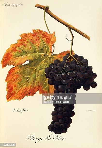 Pierre Viala Victor Vermorel Traite General de Viticulture Ampelographie 19011910 Tome V plate Rouge du Valais grape Illustration by A Kreyder