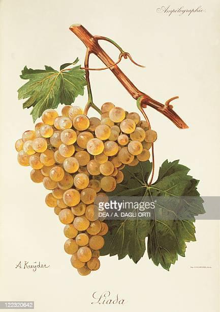 Pierre Viala Victor Vermorel Traite General de Viticulture Ampelographie 19011910 Tome IV plate Liada grape Illustration by A Kreyder