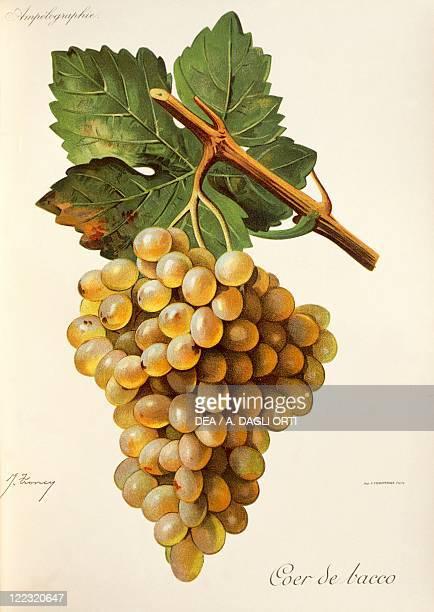 Pierre Viala Victor Vermorel Traite General de Viticulture Ampelographie 19011910 Tome V plate Coer de Bacco grape Illustration by J Troncy