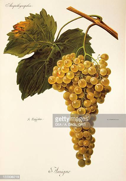 Pierre Viala Victor Vermorel Traite General de Viticulture Ampelographie 19011910 Tome VI plate Amigne grape Illustration by A Kreyder
