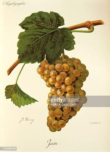 Pierre Viala Victor Vermorel Traite General de Viticulture Ampelographie 19011910 Tome VI plate Jaen grape Illustration by J Troncy