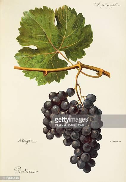 Pierre Viala Victor Vermorel Traite General de Viticulture Ampelographie 19011910 Tome VI plate Piedirosso grape Illustration by A Kreyder