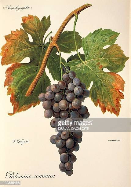 Pierre Viala Victor Vermorel Traite General de Viticulture Ampelographie 19011910 Tome VI plate Palomino Commun grape Illustration by A Kreyder
