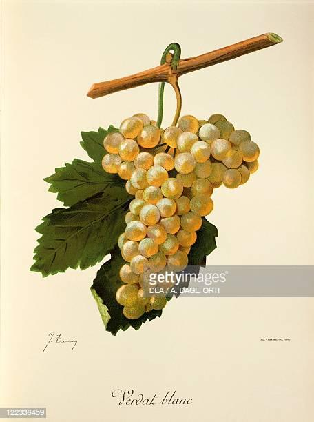 Pierre Viala Victor Vermorel Traite General de Viticulture Ampelographie 19011910 Tome VI plate Verdat Blanc grape Illustration by J Troncy