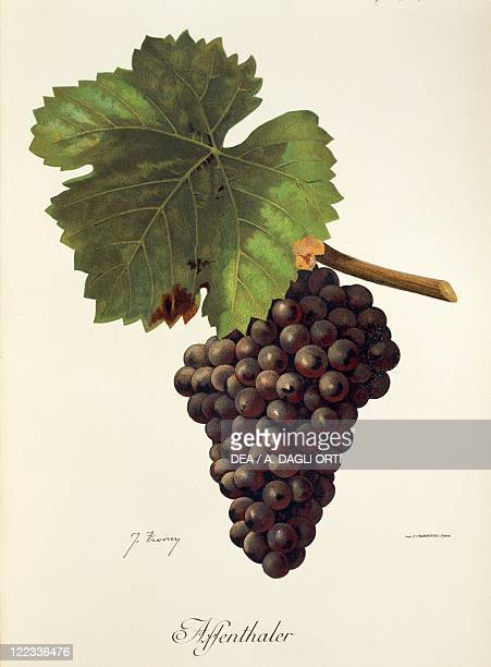 Pierre Viala Victor Vermorel Traite General de Viticulture Ampelographie 19011910 Tome VI plate Affenthaler grape Illustration by J Troncy