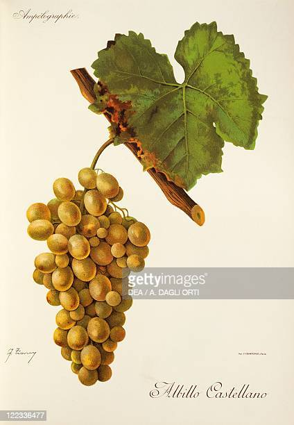Pierre Viala Victor Vermorel Traite General de Viticulture Ampelographie 19011910 Tome VI plate Albillo Castellano grape Illustration by J Troncy