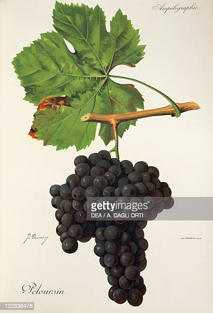Pierre Viala Victor Vermorel Traite General de Viticulture Ampelographie 19011910 Tome VI plate Peloursin grape Illustration by J Troncy