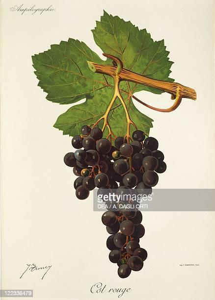 Pierre Viala Victor Vermorel Traite General de Viticulture Ampelographie 19011910 Tome VI plate Cot Rouge grape Illustration by J Troncy