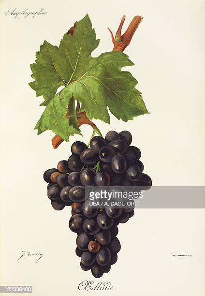 Pierre Viala Victor Vermorel Traite General de Viticulture Ampelographie 19011910 Tome VI plate Oeillade grape Illustration by J Troncy