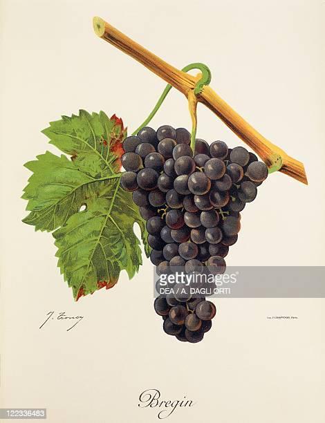 Pierre Viala Victor Vermorel Traite General de Viticulture Ampelographie 19011910 Tome VI plate Bregin grape Illustration by J Troncy
