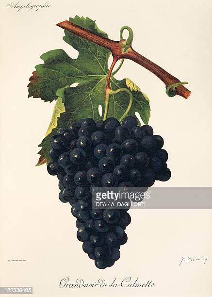 Pierre Viala Victor Vermorel Traite General de Viticulture Ampelographie 19011910 Tome VI plate GrandNoirdelaCalmette grape Illustration by J Troncy