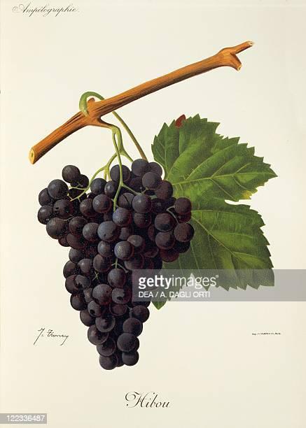 Pierre Viala Victor Vermorel Traite General de Viticulture Ampelographie 19011910 Tome VI plate Hibou grape Illustration by J Troncy