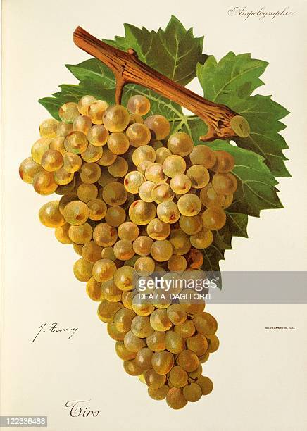 Pierre Viala Victor Vermorel Traite General de Viticulture Ampelographie 19011910 Tome VI plate Tiro grape Illustration by J Troncy