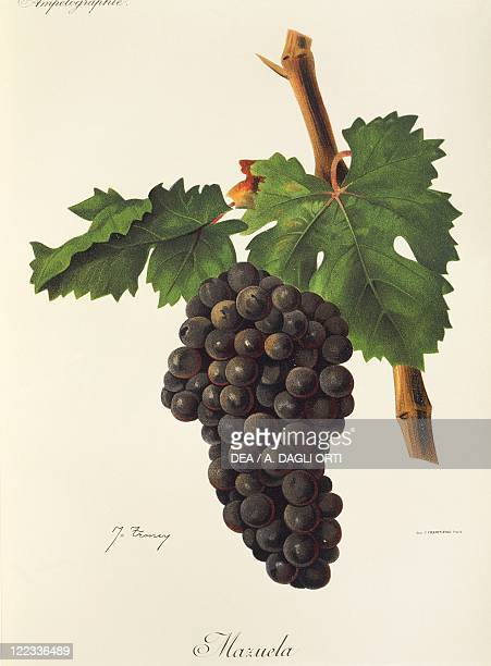 Pierre Viala Victor Vermorel Traite General de Viticulture Ampelographie 19011910 Tome VI plate Mazuela grape Illustration by J Troncy