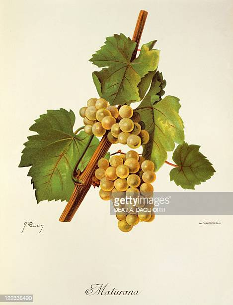 Pierre Viala Victor Vermorel Traite General de Viticulture Ampelographie 19011910 Tome VI plate Maturana grape Illustration by J Troncy
