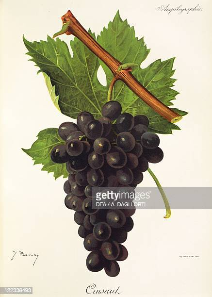 Pierre Viala Victor Vermorel Traite General de Viticulture Ampelographie 19011910 Tome VI plate Cinsaut grape Illustration by J Troncy
