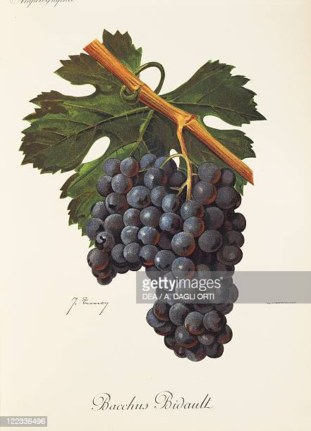Pierre Viala Victor Vermorel Traite General de Viticulture Ampelographie 19011910 Tome VI plate Bacchus Bidault grape Illustration by J Troncy
