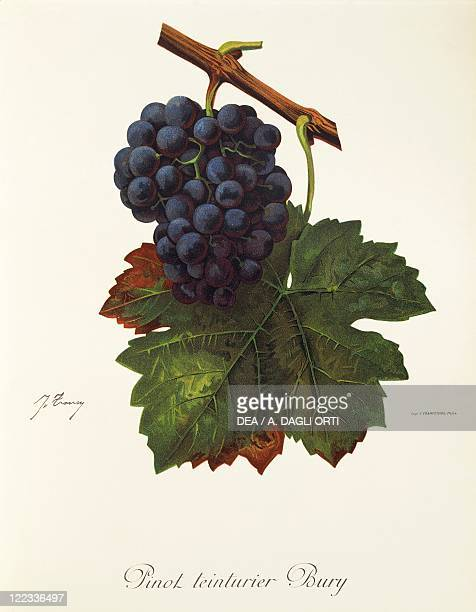 Pierre Viala Victor Vermorel Traite General de Viticulture Ampelographie 19011910 Tome VI plate Pinot Teinturier Bury grape Illustration by J Troncy