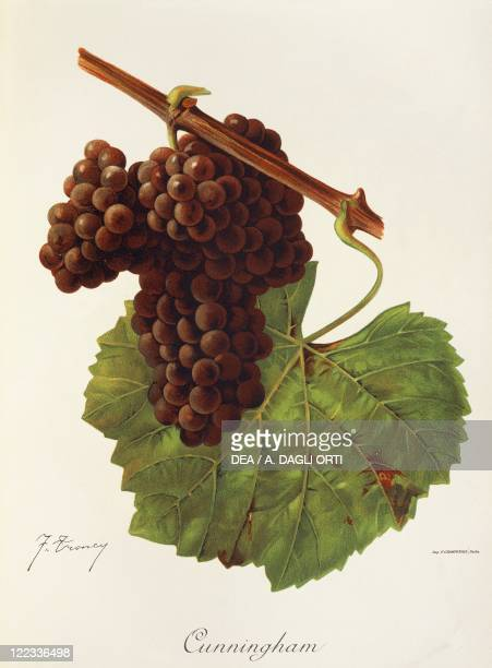 Pierre Viala Victor Vermorel Traite General de Viticulture Ampelographie 19011910 Tome VI plate Cunningham grape Illustration by J Troncy