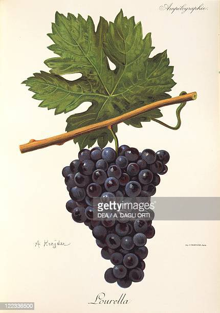 Pierre Viala Victor Vermorel Traite General de Viticulture Ampelographie 19011910 Tome VI plate Lourella grape Illustration by A Kreyder