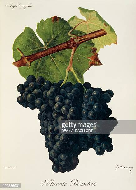 Pierre Viala Victor Vermorel Traite General de Viticulture Ampelographie 19011910 Tome VI plate AlicanteBouschet grape Illustration by J Troncy