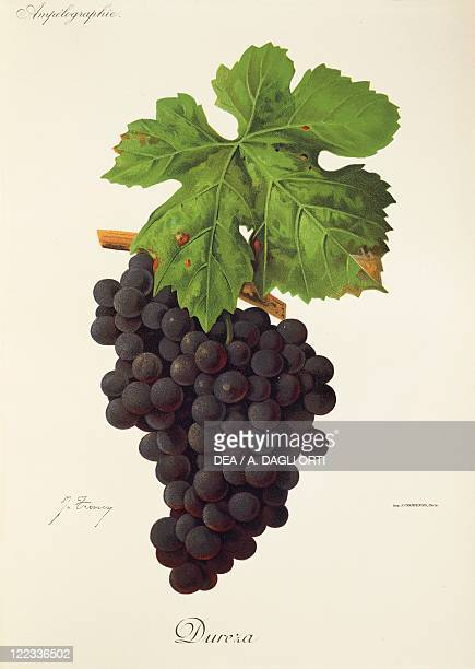 Pierre Viala Victor Vermorel Traite General de Viticulture Ampelographie 19011910 Tome VI plate Dureza grape Illustration by J Troncy