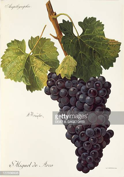 Pierre Viala Victor Vermorel Traite General de Viticulture Ampelographie 19011910 Tome VI plate Miguel de Arco grape Illustration by A Kreyder