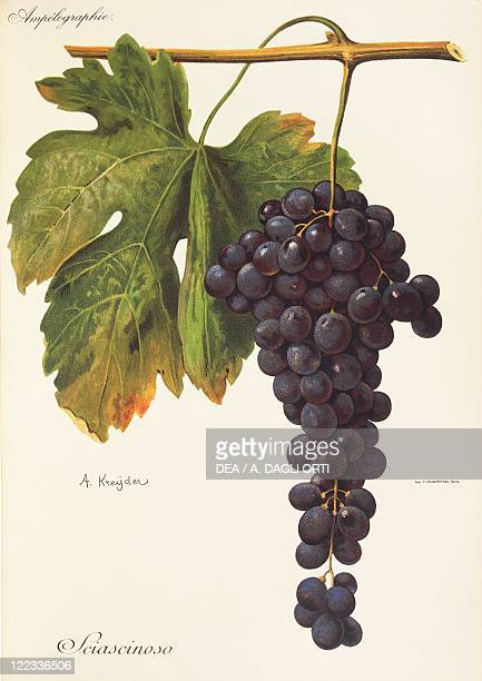 Pierre Viala Victor Vermorel Traite General de Viticulture Ampelographie 19011910 Tome VI plate Sciascinoso grape Illustration by A Kreyder