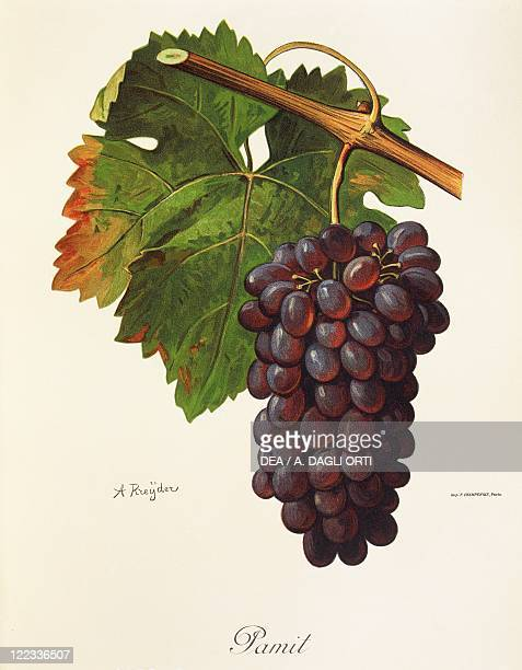 Pierre Viala Victor Vermorel Traite General de Viticulture Ampelographie 19011910 Tome VI plate Pamit grape Illustration by A Kreyder