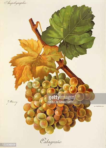 Pierre Viala Victor Vermorel Traite General de Viticulture Ampelographie 19011910 Tome VI plate Calagrano grape Illustration by J Troncy