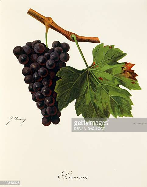 Pierre Viala Victor Vermorel Traite General de Viticulture Ampelographie 19011910 Tome VI plate Servanin grape Illustration by J Troncy