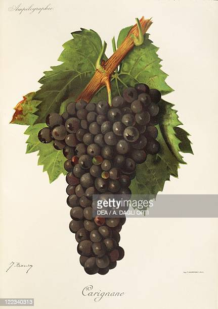 Pierre Viala Victor Vermorel Traite General de Viticulture Ampelographie 19011910 Tome VI plate Carignane grape Illustration by J Troncy