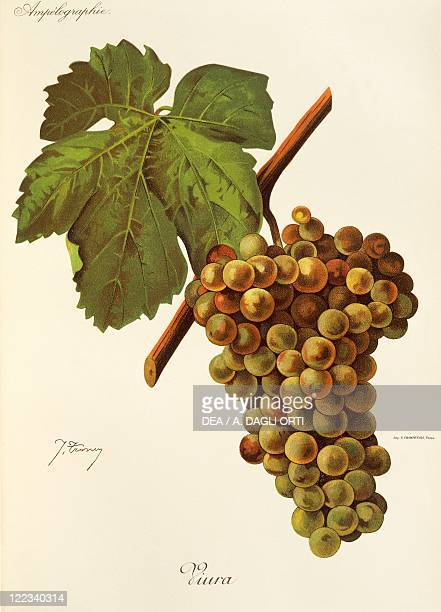 Pierre Viala Victor Vermorel Traite General de Viticulture Ampelographie 19011910 Tome VI plate Viura grape Illustration by J Troncy