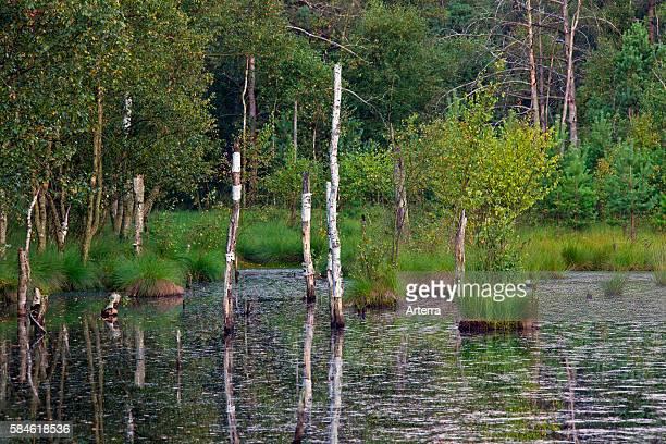 Pietzmoor / Pietz Bog pond from old peat cuttings in marshland Schneverdingen Lueneburg Heath / Lunenburg Heathland Lower Saxony Germany