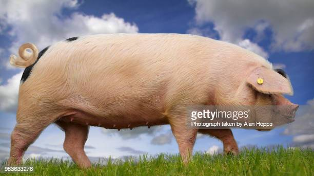 pig against a blue sky - pig stock pictures, royalty-free photos & images