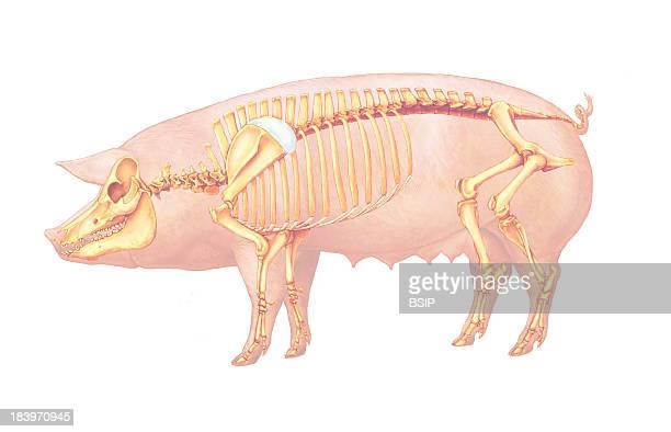 Pig Anatomy Drawing