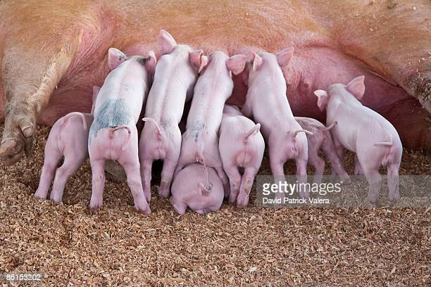 Pig and piglets suckling