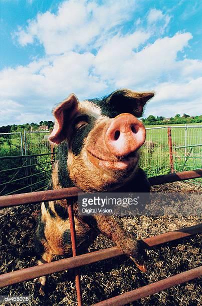 Pig Climbing Pen