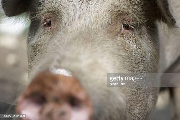 Pig (Dutch Landrace), close-up