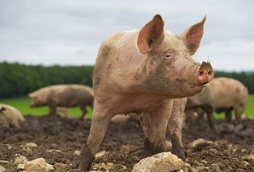 Pig close-up 995420740