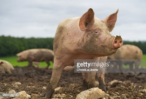 59 765 Pig Photos And Premium High Res Pictures Getty Images