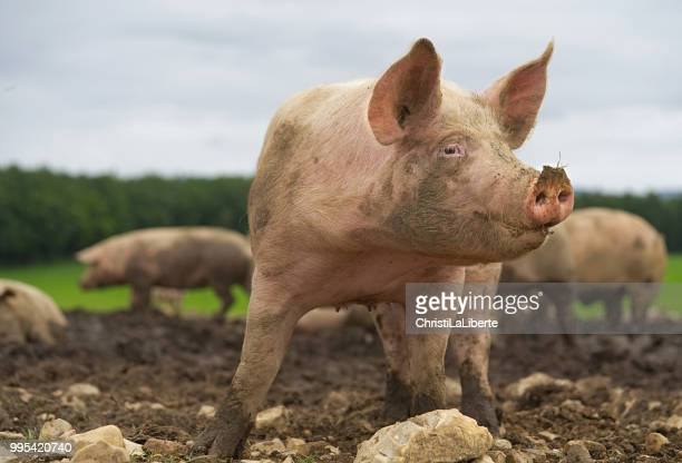 pig close-up - herbivorous stock pictures, royalty-free photos & images