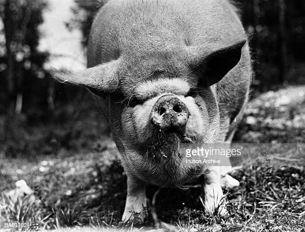 Tiny the pig at Lady Woodland's pig farm, August 1923
