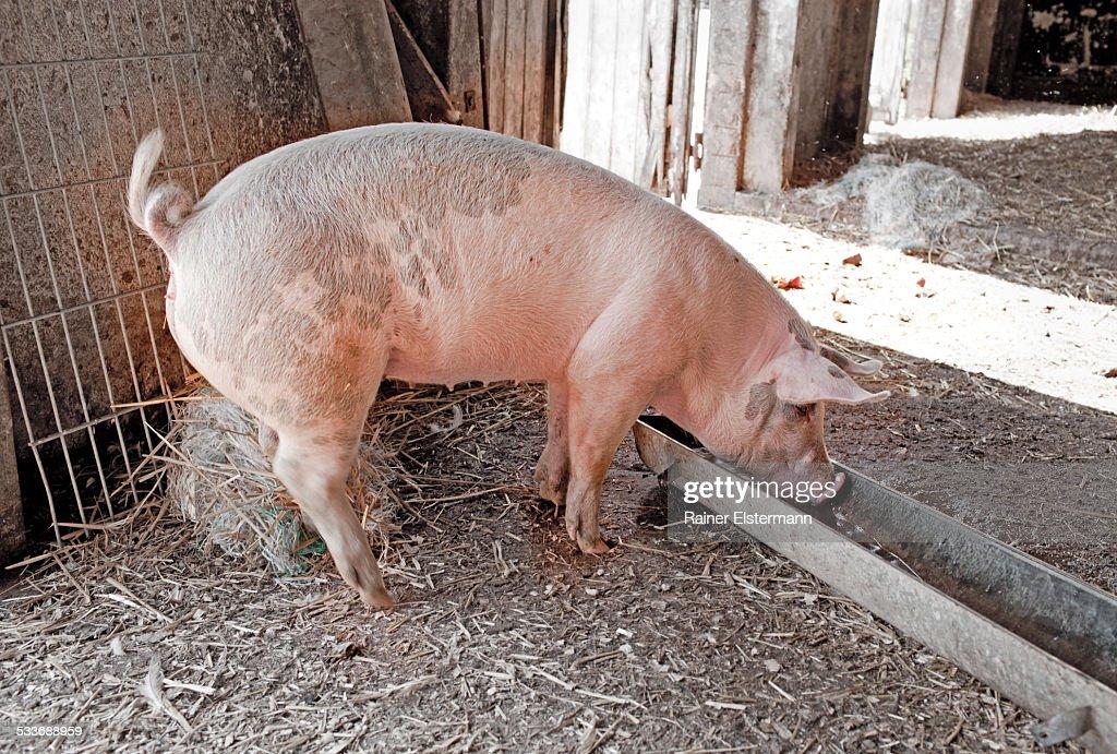Pig drinking : Foto stock